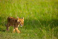 Lion Stock Images - 50424334