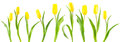 Banner Of Yellow Tulips On White Royalty Free Stock Photos - 50440878