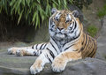Tiger Stock Photography - 50446752
