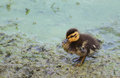 Lone Baby Duckling In Muddy Water. Stock Photos - 50449453