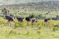 Ostriches  Walking On Savanna In Africa. Safari Stock Images - 50450834