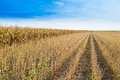 Soybean Field Ripe Just Before Harvest, Agricultural Landscape Royalty Free Stock Images - 50464499