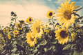Yellow Flower Sunflower Meadow Field Vintage Retro Stock Image - 50496201
