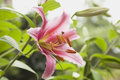Germany, Lily, Pink Blossom Stock Image - 50500511