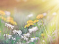 Dandelion Flower And Daisy Flower Royalty Free Stock Photo - 50512225