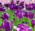 Violet Tulips In Spring Day Royalty Free Stock Image - 50517076