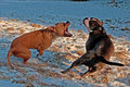 Pitbull Play Fighting With Olde English Bulldog Royalty Free Stock Images - 50524799