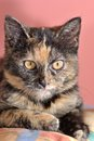 Cute Kitten With Rare Tortoise Fur Royalty Free Stock Image - 50549266
