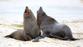 New Zealand Fur Seal Stock Images - 50567714