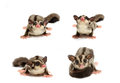 Young Sugar Glider Looking Photograp Stock Images - 50588204