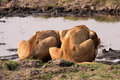 Drinking Lioness Royalty Free Stock Images - 5064049