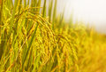 Rice Field Stock Photography - 50602902