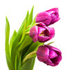 Purple Colored Tulip Flowers Royalty Free Stock Photo - 50605185