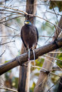 Serpent Eagle With A Killed Serpent Stock Photography - 50624712