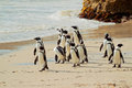 African Penguins Royalty Free Stock Image - 50632346
