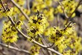 Hamamelis Stock Photo - 50635220