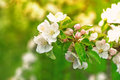 Blossoming Of Apple Tree Flowers Over Green Nature Background Royalty Free Stock Image - 50637116