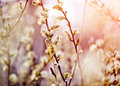 Fluffy Branches Of A Willow Royalty Free Stock Photography - 50664317