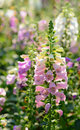 Beautiful Snapdragon Wiht Blur Background. Stock Photo - 50676170