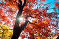 Red Maple Tree Leaves Autumnal Backlight Stock Images - 50676594