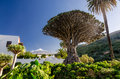 Dragon Tree And Teide Royalty Free Stock Image - 50691416
