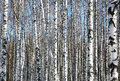 Birches On Blue Sky Stock Image - 50695071