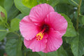 Pink Hibiscus Flower Royalty Free Stock Images - 50700439