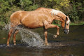 Nice Palomino Warmblood Playing In The Water Stock Images - 50701484