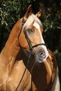 Beautiful Amazing Palomino Warmblood With Blond Hair Royalty Free Stock Images - 50702679