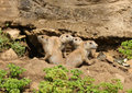 Black-Tailed Prairie Dogs Royalty Free Stock Images - 50708459