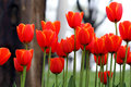 Orange Tulips Royalty Free Stock Photo - 50744575