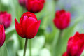 Red Tulips Royalty Free Stock Images - 50744639