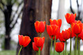 Tulip And Orange Stock Photography - 50744642