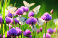 White Butterfly On Chive Flowers Royalty Free Stock Photography - 50755797
