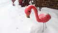 Flamingo In The Snow Royalty Free Stock Photo - 50757195