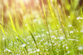 Green Grass And Little White Flowers On The Field Royalty Free Stock Photo - 50766595