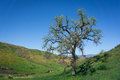 Tall Oak In Green Valley Royalty Free Stock Image - 50770656