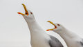 Two Seaguls Calling Out Loud Stock Photo - 50776680