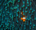 Waiting Clown Fish Stock Images - 50803424