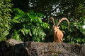 One Male Goat Animal With Big Horns Royalty Free Stock Images - 50811319