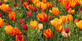 Wild Tulips In Red And Yellow Shades Royalty Free Stock Images - 50821029
