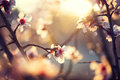Beautiful Nature Scene With Blooming Tree Royalty Free Stock Images - 50821399