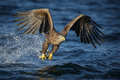 White Tailed Eagle Eating A Freshly Caught Fish Stock Photo - 50825920