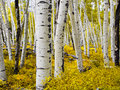 Aspen Forest In Autumn - Colorado Royalty Free Stock Photography - 50836447