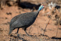 Guinea Fowl Royalty Free Stock Image - 50837356