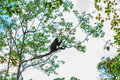 Langur Sitting On Tree Branch Stock Images - 50843584