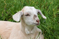 Baby Goat Stock Photo - 50844420
