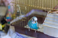 Blue Budgie Bird On Cage Royalty Free Stock Photo - 50857895