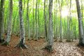 Beech Forest Royalty Free Stock Images - 50880189