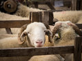 Sheep In Pen, Country Show, Yorkshire Royalty Free Stock Photo - 50882415